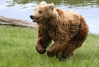 300px-Brown_bear_(Ursus_arctos_arctos)_running